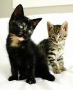 猫追跡1playful-kittens-4_2670950